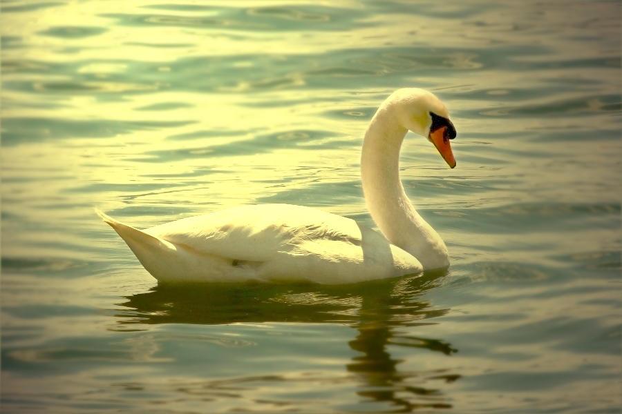 swan by hv1234