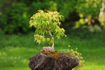 Bonsai tree by hv1234
