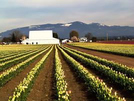 tulip festival by crazytmac