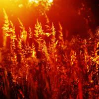 golden field by crazytmac