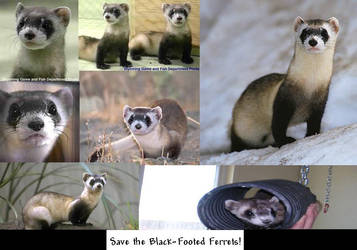 Save the Black-Footed Ferrets by PickleHater