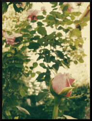 Rose by Pimthida