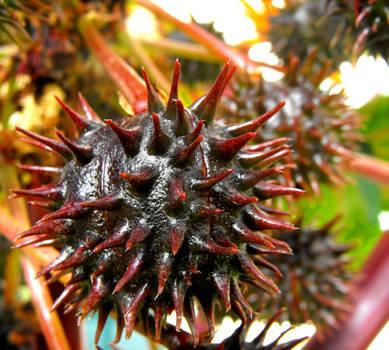 Black Castor Oil fruit by floramelitensis