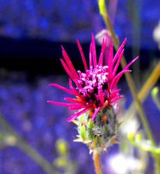 Volutaria lippii by floramelitensis