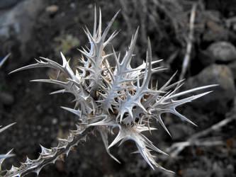Thistle Skeleton by floramelitensis