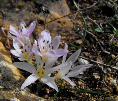 Mediterranean Meadow Saffron by floramelitensis