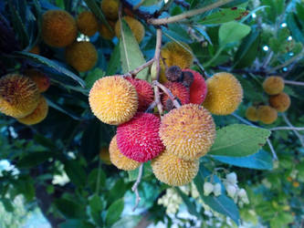 Strawberry Tree fruit by floramelitensis