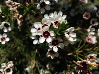 Manuka flowers by floramelitensis