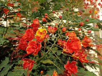 Pride of Barbados by floramelitensis
