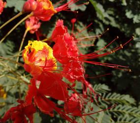 Caeselpinia pulcherrima flowers by floramelitensis