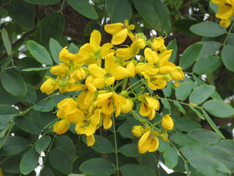 Cassia tree by floramelitensis