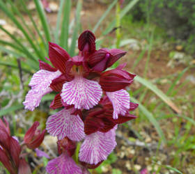 Pale Butterfly Orchid by floramelitensis