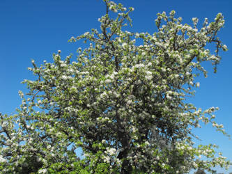 Almond-leaved Pear by floramelitensis