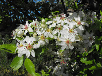 Almond-leaved Pear flowers by floramelitensis