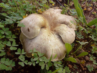 Giant Fennel's Oyster Mushroom by floramelitensis