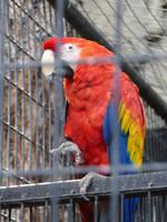 Scarlet Macaw by Hestia-Edwards
