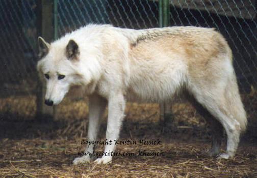 Pregnant Anthro Wolf Www Genialfoto Com