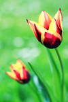 Tulips by Alyss6