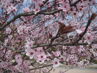 Sakura Cherry blossom 01 by HappySpirit4