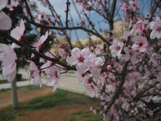 Sakura Cherry blossom 02 by HappySpirit4