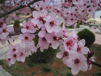Sakura Cherry blossom 03 by HappySpirit4