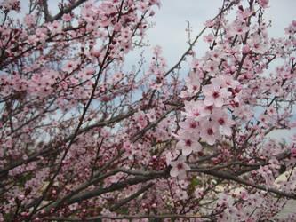 Sakura Cherry blossom 04 by HappySpirit4
