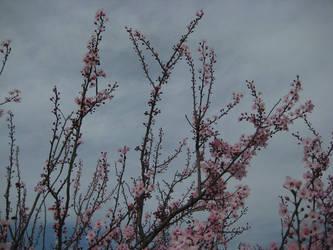Sakura Cherry blossom 05 by HappySpirit4