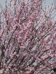 Sakura Cherry blossom 06 by HappySpirit4
