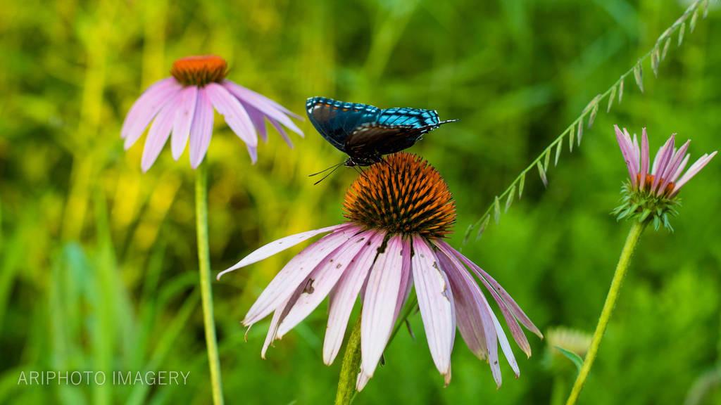 Blue Butterfly by arivendi