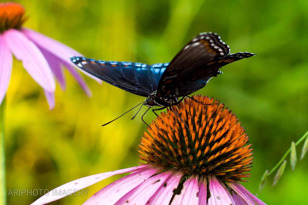 Blue Butterfly - Crop by arivendi