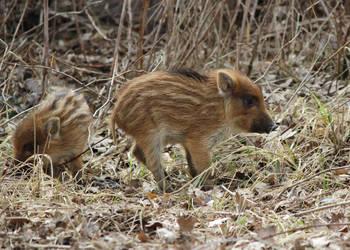 Wild boar by RafiX14