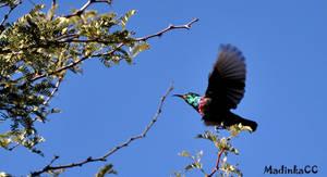 Marico Sunbird by MadInKaCC