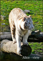 White Tiger II by Alice-view