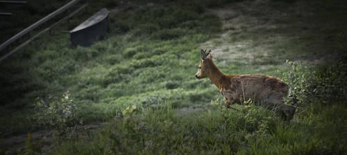 Bambi by Haslum
