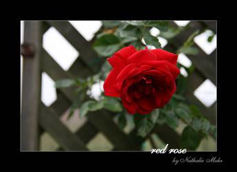 red rose by dieZera