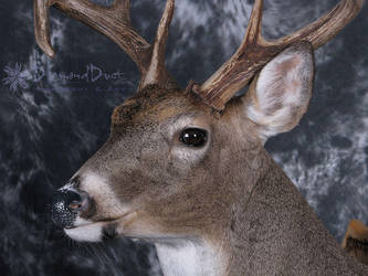Bent Horn Buck face detail by DiamondDustTaxidermy
