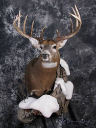 Allan's Buck by DiamondDustTaxidermy