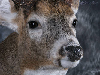 Allan's Buck Close Up by DiamondDustTaxidermy