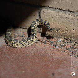 Great Basic Gopher Snake... by aakoran