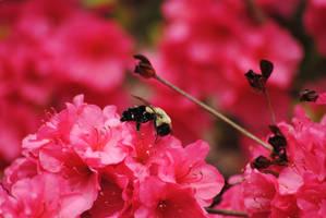 Busy bee [2] by KelseyMariePhoto