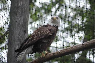 Bald Eagle by KelseyMariePhoto