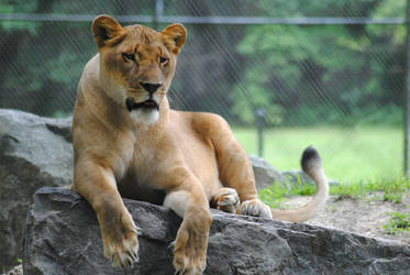 Bella, The African Lion by KelseyMariePhoto