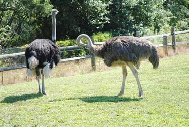 Ostriches by KelseyMariePhoto