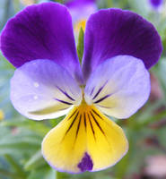 Purple Yellow Polkaface Pansy by Gracies-Stock