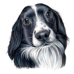 Spaniel Commission by laurenjade15