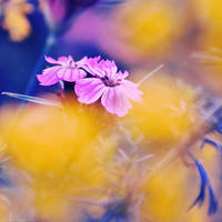 Carnation by dev1n