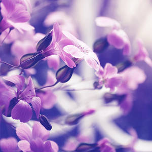 Purple Dream by dev1n