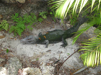 Alligator 2 by Social-Misfit