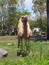 Camel by Social-Misfit