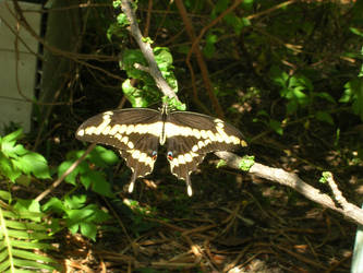 Swallowtail Butterfly by Social-Misfit